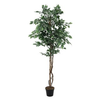 Europalms Variegated Ficus, 180cm